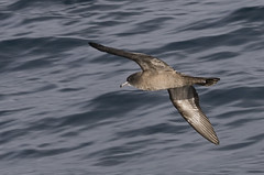 Wedge-tailed Shearwater (shyalbatross232) Tags: birds canon canon20d australia aves september newsouthwales shearwater seabirds 2007 wollongong pelagic wedgetailedshearwater puffinuspacificus darkmorph puffinus pacificus wedgetailed