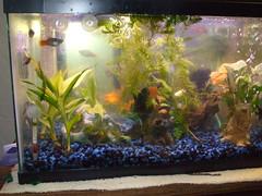 DSCF0163 (oakswflyer) Tags: aquarium angelfish tropicalfish ghostshrimp neontetra platys corycatfish 10galtank