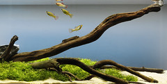 full tank crop (George Farmer) Tags: fish mexico aquarium tank molly tropical aquascape cenotes riccia biotope georgefarmer