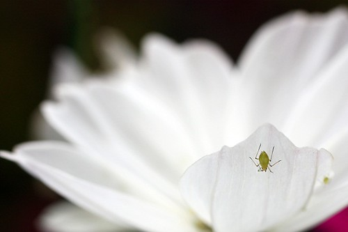 aphid, solo