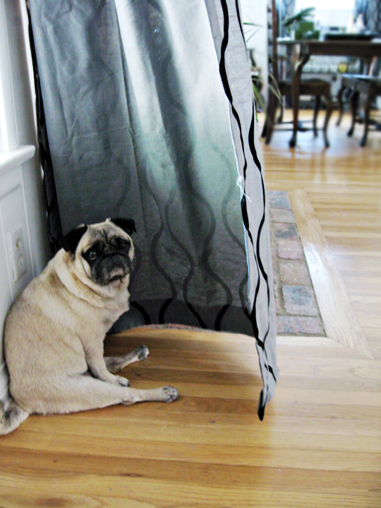 pug sitting silly behind curtain