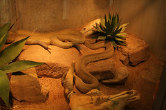 Klapperschlangen / Rattle snakes