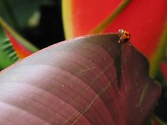 Fabulous looking Harlequin Ladybird on heliconia leaf, shot May 31, 2007