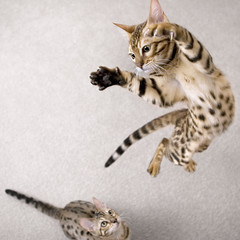 I bet you can't do this... (Mr. Flibble) Tags: cat jump kitten kittens leap bengal killerbee explored challengeyouwinner thecatwhoturnedonandoff idrinkleadpaint