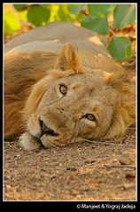 the king resting (wildlens) Tags: trip travel vacation india holiday nature photography photo nikon published photos  portfolio cr iucn jadeja criticallyendangered pantheraleopersica manjeet yograj ourfavourites manjeetyograjjadeja