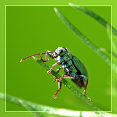 green beetle - by Marko_K