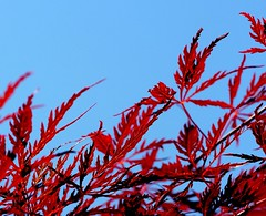 Red and Torquise (Mandana (on and off)) Tags: leaves explore japanesemaple shieldofexcellence