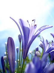 sun rays on purple flowers - by sunshinecity