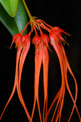 Bulbophyllum pecten-veneris (Eric Hunt.) Tags: orange orchid flower orchidaceae bulbophyllum bulbophyllumpectenveneris