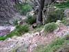 """Le """"mouflon"""" du Tafonatu au-dessus de Tana di l'Orsu (""""bouc""""?)"""