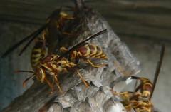 Wasp (qnr) Tags: animal insect texas wasp corpuschristi critter gimp panasonicdmcfz7 10millionphotos