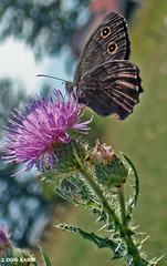 butterfly sitting on a milk thistle - by 2-Dog-Farm