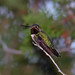 Broad-tailed Hummingbird Bokeh - by Fort Photo