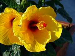 Il nostro Ibisco giallo, our yellow hibiscus - by pizzodisevo (first of all, my health)