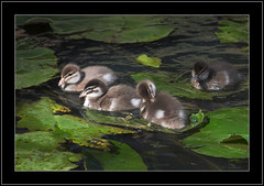 Australian Wood Duck -Ducklings (Barbara J H) Tags: nature birds fauna duck wildlife ducklings australia australianbirds woodduck australianwildlife naturesfinest birdsofaustralia chenonettajubata australianwoodduck project365 australianfauna featheryfriday waterlilypad canoneos30d animaladdiction birdphotos wildlifeofaustralia barbarajh 260707 superbmasterpiece daybyday2007 auselite faunaofaustralia 26thjuly2007
