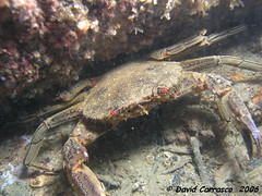 liocarcinuspuberwt1[1] (coismarbella) Tags: mergulho dive scuba diving buceo submarinismo tauchen plonge crustaceos