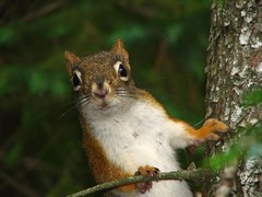 Red squirrel (ET Photo Home!) Tags: animal squirrel redsquirrel naturesfinest anawesomeshot impressedbeauty