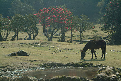 A Khachad grazes in a field full of Rhododendron trees by Kashish Das Shrestha