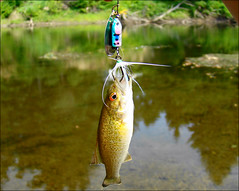 Huge Catch.... ;) (Tim55546) Tags: 2 two nature mouth river inch cornwall bass connecticut small ct tiny inches bait spinner watcher smallmouth housatonic