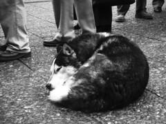 soninho (catharine.) Tags: santiago cachorro pés rua sapatos friopracaramba