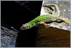 Lizard (Nespyxel) Tags: verde green animal reptile lizard animale lucertola rettile challengeyouwinner a3b nespyxel stefanoscarselli pleasedontusethisimageonwebsites blogsorothermediawithoutmyexplicitpermissionallrightsreserved
