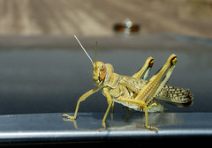 Clown or Grasshopper? (Hamed Saber) Tags: macro chevrolet nature animal closeup insect persian colorful desert iran persia saber gathering grasshopper iranian locust  esfahan hamed isfahan flickrmeetup farsi       carbonnet enginebonnet      upcoming:event=235013