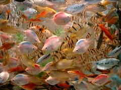 too many fish ? (andreapatrizia) Tags: fish acquarium hangzhou fishacquariumhangzhou