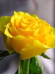 Yellow rose for Shana (SexySEO) Tags: yellowrose yellowroseforshana thenanny612