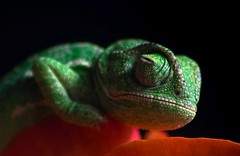 A Chameleon Portrait (Nessims) Tags: lebanon flower green animal sleep reptile wildlife east lizard leopard scales snooze middle chameleon naturesfinest gecho