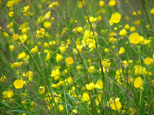 Buttercups and meadow grass