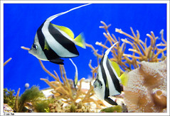 A pair of Black and White Heniochus (padu_merloti) Tags: california blue blackandwhite fish yellow swimming aquarium underwater sandiego bokeh lajolla scripps birchaquarium padu heniochus sonya100 merloti padumerloti