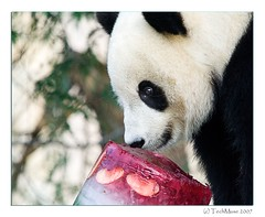 Tai's 2nd Birthday (techmuse) Tags: zoo panda tai nz 2ndbirthday 9686