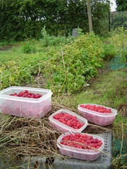 Raspberries picked!