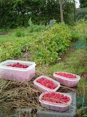 Raspberries picked!