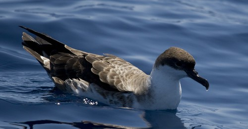 Greater Shearwater on the water