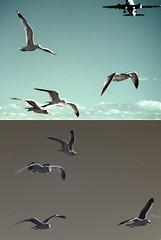 gull diptych - by zachstern
