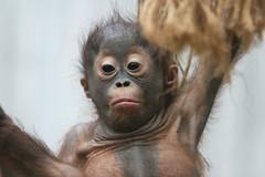 2007-07-14-10h25m58.IMG_2495e (A.J. Haverkamp) Tags: netherlands geotagged zoo utrecht thenetherlands orangutan rhenen dierentuin orangoetan ouwehandsdierenparkrhenen borneoorangutan laareind geo:lat=51957478 geo:lon=5590775 httpwwwouwehandnl borneoorangoetan