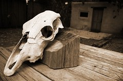 Skull-Corrales (nicholsphotos) Tags: newmexico skull corrales nicholsphotos albuquerquewomensflickrmeet