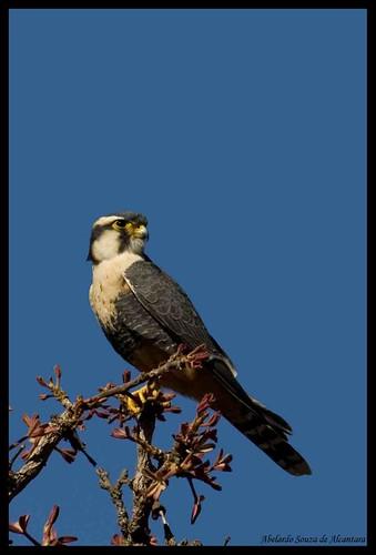 FALCO MORCEGUEIRO (falco rufigularis)
