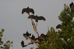 Turkey Vultures sunning in the morning