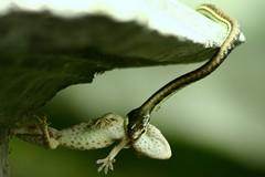kematian (Farl) Tags: bali nature indonesia death snake lizard altar spots ants gecko prey predator ricefield ular karangasem sanggah penaban