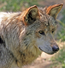 Mexican Wolf! (lemperleconnie) Tags: eye karma animalplanet cincinnatizoo naturesfinest blueribbonwinner earthnature welcometomyworld supershot animaladdiction specanimal animalkingdomelite mywinners abigfave anawesomeshot impressedbeauty lemperleconnie superbmasterpiece allrightsreserved elpasojoesplace excellentphotographerawards empyreananimals theunforgetablepictures excapture betterthangood everydayissunday
