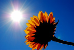 ~ You Are My Sunshine ~ (suesue2) Tags: blue sky sun flower sunshine michigan sunflower suesue2 amazingmich infinestyle