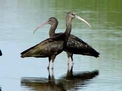 Glossy ibis ( Plegadis falcinellus ) (diegocon1964) Tags: espaa sevilla morito glossyibis plegadisfalcinellus animalkingdomelite lospalaciosyvillafranca cerrodelascigeas excellentphotographerawards