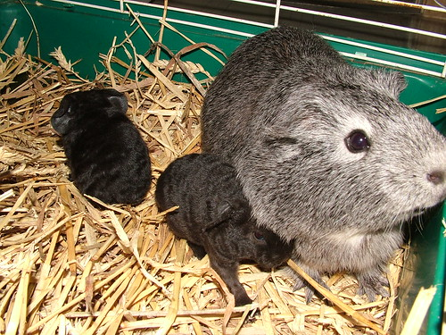 6 new guinea pig babies in