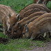 Wild Boar Piglets - Forest of Dean