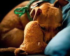 Keinbeinelch (redstarpictures) Tags: hund dog pinscher joschi braun brown rehpinscher deutscherpinscher germanpinscher minipin stofftier keinbeinelch schmusen miniaturepinscher