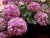 Fiori d'autunno -  Autumn flowers (Ola55) Tags: pink flowers autumn rosa fiori autunno italians naturelovers the4elements mywinners aplusphoto sedumsieboldii worldtrekker yourcountry ola55