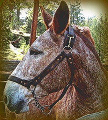 Corral at Kennedy Meadows (Sallyanne Morris) Tags: california horse mule roundup kennedymeadows loml corrall hisierra ilovemypic