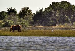 Wildlife paddle_HDR (Aperturef64) Tags: beach landscape bay md pentax wildlife maryland pony hdr assateague k10d highdynamicrangephotograph pentaxart assateaguenationalpark